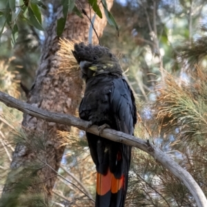 Calyptorhynchus lathami at Penrose, NSW - 8 Oct 2021