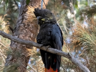 Calyptorhynchus lathami (Glossy Black-Cockatoo) at Penrose, NSW - 8 Oct 2021 by Aussiegall