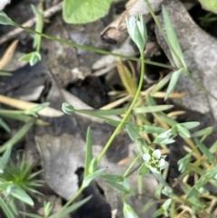 Moenchia erecta (Erect Chickweed) at Pialligo, ACT - 11 Oct 2021 by JaneR