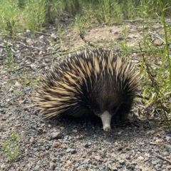 Tachyglossus aculeatus (Short-beaked Echidna) at Pearce, ACT - 11 Oct 2021 by Shazw