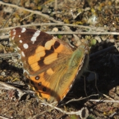 Vanessa kershawi (Australian Painted Lady) at Theodore, ACT - 22 Sep 2021 by michaelb
