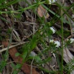 Asperula conferta (Common Woodruff) at Queanbeyan West, NSW - 11 Oct 2021 by Paul4K