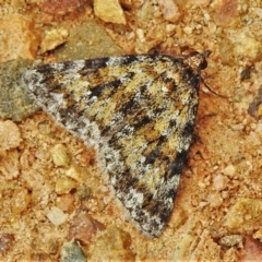 Dichromodes disputata (Scaled Heath Moth) at Coree, ACT - 11 Oct 2021 by JohnBundock