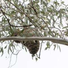 Apis mellifera (European honey bee) at Bruce, ACT - 11 Oct 2021 by AlisonMilton