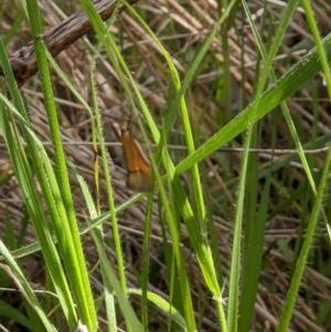 Philobota sp. (Philobota sp.) at West Wodonga, VIC by ChrisAllen