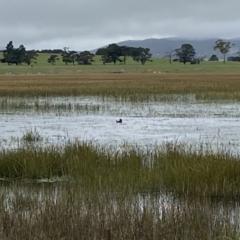 Biziura lobata (Musk Duck) at Wollogorang, NSW - 12 Oct 2021 by Steve_Bok
