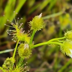 Drosera hookeri (Grassland Sundew, Pale Sundew) at Jerrabomberra, ACT - 12 Oct 2021 by Mike
