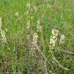 Stackhousia monogyna (Creamy Candles) at Symonston, ACT - 12 Oct 2021 by Mike