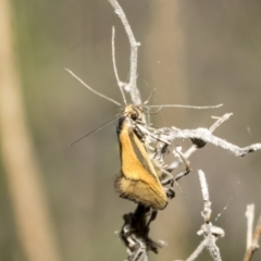 Philobota undescribed species near arabella (A concealer moth) at Bruce, ACT - 11 Oct 2021 by AlisonMilton