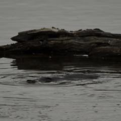 Ornithorhynchus anatinus (Platypus) at Fyshwick, ACT - 12 Oct 2021 by davidcunninghamwildlife