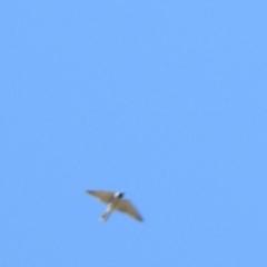 Artamus personatus (Masked Woodswallow) at Tarcutta, NSW - 13 Oct 2018 by Liam.m