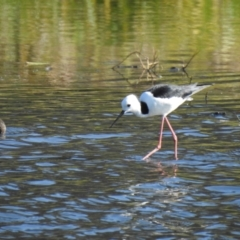Himantopus leucocephalus (Pied Stilt) at Wagga Wagga, NSW - 13 Oct 2018 by Liam.m