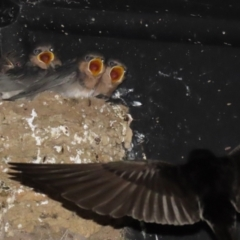 Hirundo neoxena (Welcome Swallow) at Fyshwick, ACT - 12 Oct 2021 by RodDeb