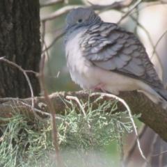 Geopelia placida (Peaceful Dove) at Turvey Park, NSW - 11 Jun 2017 by Liam.m
