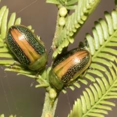 Calomela parilis (Leaf beetle) at Bruce, ACT - 11 Oct 2021 by AlisonMilton