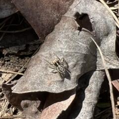 Maratus sp. (genus) (Unidentified Peacock spider) at Murrumbateman, NSW - 9 Oct 2021 by SimoneC