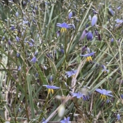 Dianella longifolia (Pale Flax Lily) at Yarralumla, ACT - 12 Oct 2021 by JaneR