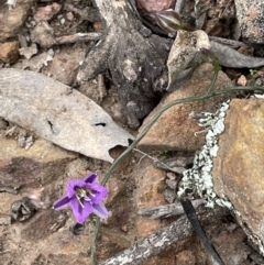 Thysanotus patersonii (Twining Fringe Lily) at Yarralumla, ACT - 12 Oct 2021 by JaneR