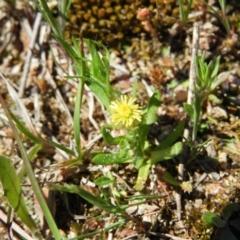Triptilodiscus pygmaeus (Annual Daisy) at Kambah, ACT - 9 Oct 2021 by MatthewFrawley