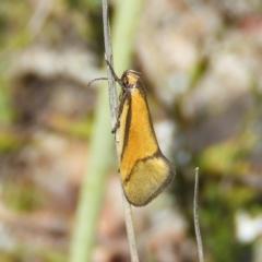 Philobota undescribed species near arabella (A concealer moth) at Kambah, ACT - 9 Oct 2021 by MatthewFrawley