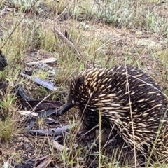 Tachyglossus aculeatus (Short-beaked Echidna) at Stromlo, ACT - 13 Oct 2021 by AJB