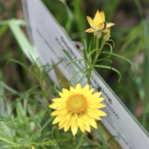 Xerochrysum viscosum (Sticky everlasting) at Glenroy, NSW by PaulF