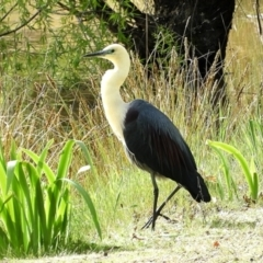 Ardea pacifica (White-necked Heron) at Crooked Corner, NSW - 12 Oct 2021 by Milly