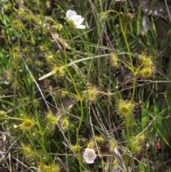 Drosera hookeri (Grassland Sundew, Pale Sundew) at Kaleen, ACT - 11 Oct 2021 by pinnaCLE
