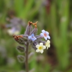 Myosotis discolor (Forget-me-not) at Molonglo Valley, ACT - 11 Oct 2021 by pinnaCLE