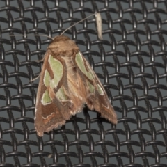Cosmodes elegans (Green Blotched Moth) at Higgins, ACT - 9 Oct 2021 by AlisonMilton