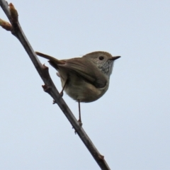 Acanthiza pusilla (Brown Thornbill) at Paddys River, ACT - 13 Oct 2021 by RodDeb