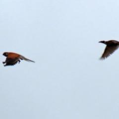 Falco cenchroides (Nankeen Kestrel) at Gordon, ACT - 13 Oct 2021 by RodDeb