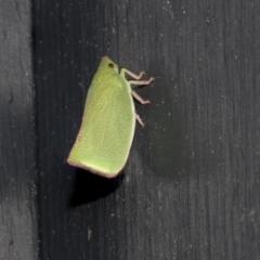 Siphanta sp. (genus) (Green planthopper, Torpedo bug) at Higgins, ACT - 9 Oct 2021 by AlisonMilton