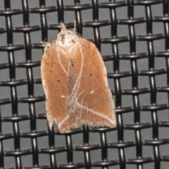 Arachnographa micrastrella (A concealer moth) at Higgins, ACT - 9 Oct 2021 by AlisonMilton