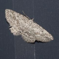 Psilosticha absorpta (Fine-waved Bark Moth) at Higgins, ACT - 9 Oct 2021 by AlisonMilton