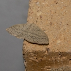 Scopula rubraria (Plantain Moth) at Higgins, ACT - 9 Oct 2021 by AlisonMilton