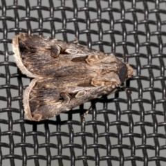 Agrotis munda (Brown Cutworm) at Higgins, ACT - 10 Oct 2021 by AlisonMilton