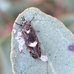 Leistomorpha brontoscopa (A concealer moth) at Binalong, NSW - 13 Oct 2021 by Steve_Bok