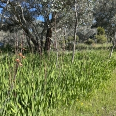 Watsonia borbonica (TBC) at Leneva, VIC - 13 Oct 2021 by Alburyconservationcompany