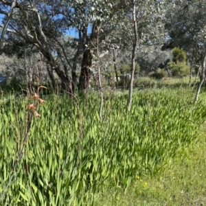 Watsonia borbonica (TBC) at suppressed by Alburyconservationcompany
