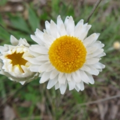 Leucochrysum albicans subsp. tricolor (Hoary Sunray) at Pialligo, ACT - 12 Oct 2021 by Christine