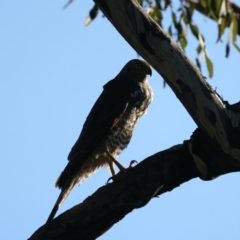 Accipiter fasciatus (Brown Goshawk) at Ainslie, ACT - 7 Oct 2021 by jbromilow50