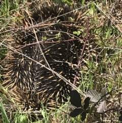 Tachyglossus aculeatus (Short-beaked Echidna) at Paddys River, ACT - 9 Oct 2021 by Tapirlord