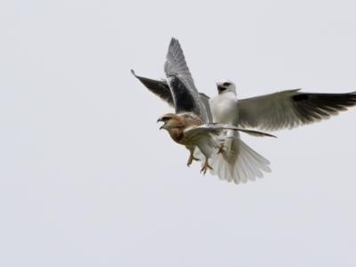 Elanus axillaris (Black-shouldered Kite) at Throsby, ACT - 12 Oct 2021 by trevsci