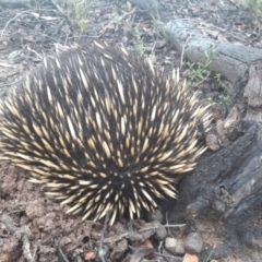 Tachyglossus aculeatus (Short-beaked Echidna) at Bonner, ACT - 14 Oct 2021 by TimotheeBonnet