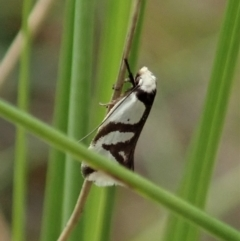Ocystola paulinella (A Concealer Moth) at Cook, ACT - 10 Oct 2021 by CathB