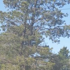 Gymnorhina tibicen (Australian Magpie) at Queanbeyan East, NSW - 7 Oct 2021 by Swanwatcher_28