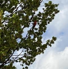 Alisterus scapularis (Australian King-Parrot) at Jerrabomberra, NSW - 14 Oct 2021 by Steve_Bok