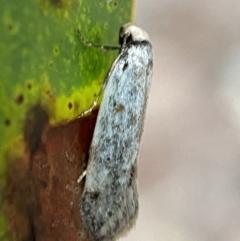Haplodyta polybotrya (TBC) at Jerrabomberra, NSW - 14 Oct 2021 by Steve_Bok