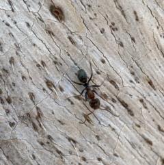 Iridomyrmex rufoniger (Tufted Tyrant Ant) at Jerrabomberra, NSW - 14 Oct 2021 by Steve_Bok
